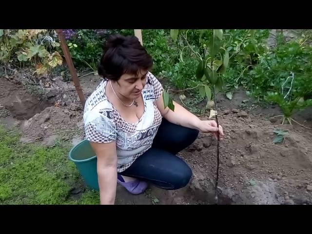 А Вы знаете Как посадить дерево?Мастер-класс по посадке саженцев плодовых  деревьев .