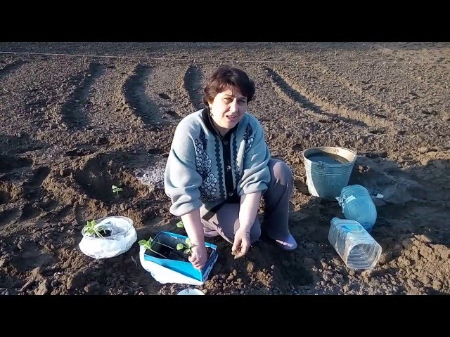 Арбузы и дыни.Высадка рассады в грунт.