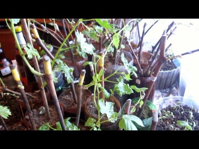 Черенки винограда после двух недельной посадки в землю. Контроль роста приживаемость винограда.