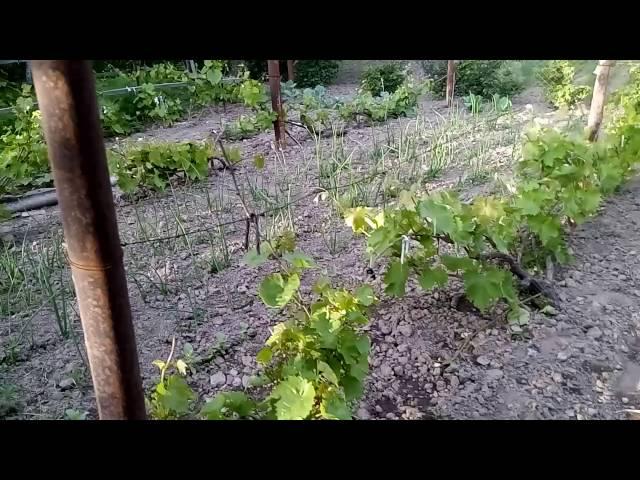 Что сажать между виноградными рядами