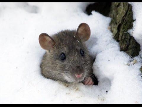 Что защитит ваш сад от мышей? Дай Лапу
