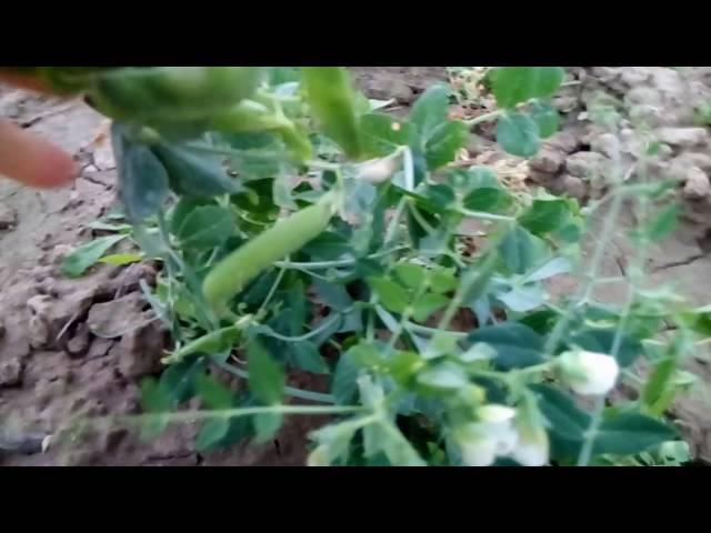 Два урожая за один сезон.Огурцы,зеленый горошек,спаржевая фасоль и дайкон  во вто