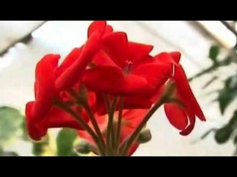 Как черенковать цветы? Дача ТВ