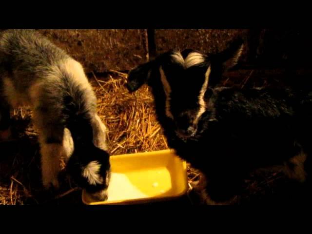 Как кормить маленьких недельных козлят молоком. Учим пить с миски козлят.