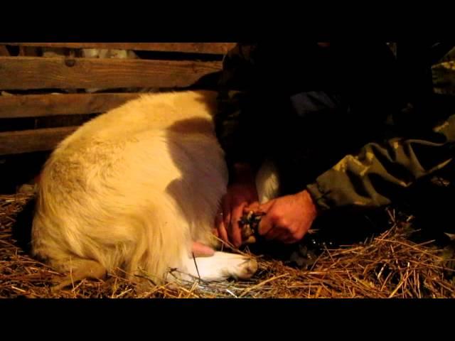 Как обрезать и чистить копыта у козы,использование подручных простых инструментов для обрезки копыт
