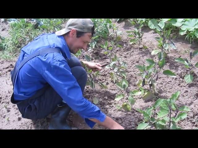 Как плодоносят баклажаны на северо-востоке Беларуси, в открытом грунте!Сбор урожая в июле с грядки.