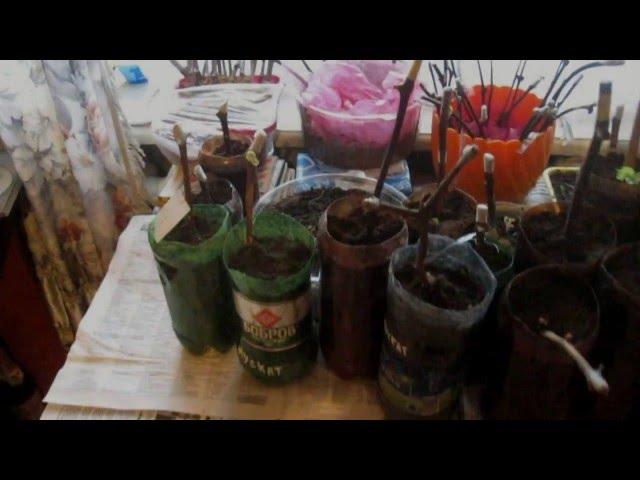 Как посадить проросшие черенки винограда подробная практическая инструкция, советы, хитрости.