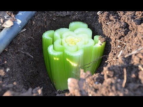 Как посадить сельдерей и перец? Советы садоводам. Дача ТВ