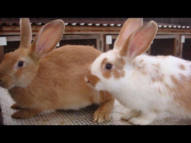 Как разводить кроликов на даче? Дача ТВ