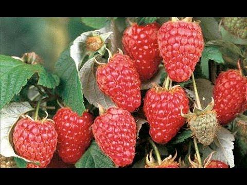 Как собрать большой урожай крупной малины? Ремонтантные сорта. Дача ТВ