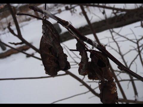 Как уберечь деревья зимой? И защитить их от вредителей?  Дача ТВ