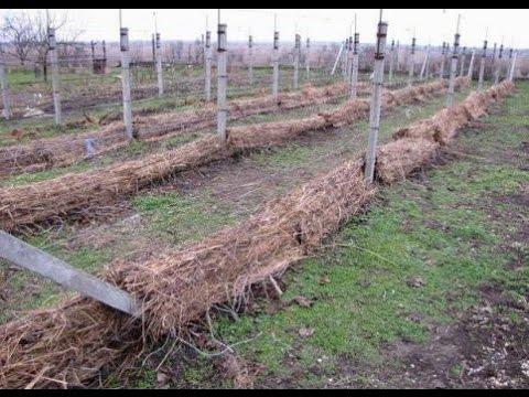 Как укрывать виноград на зиму? Дача ТВ