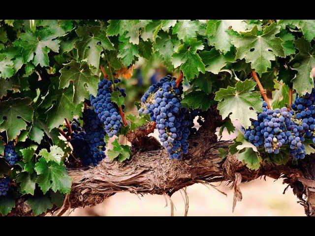 Как ухаживать за виноградом?  И защитить его от заморозков? Дача ТВ
