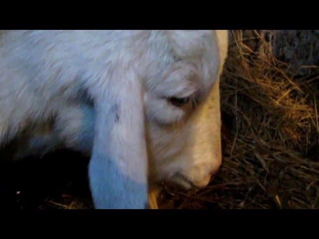 Как узнать что коза котится через сутки