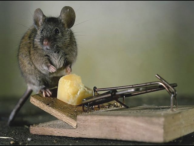 Как защитить сад от мышей? Идеальная мышеловка своими руками Дача ТВ
