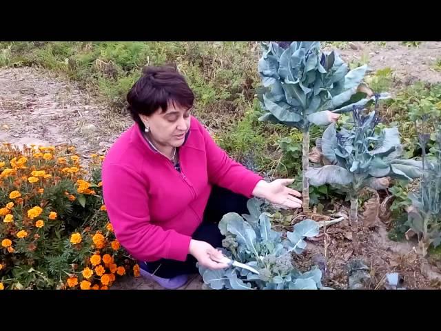 Капуста брокколи -урожай до морозов.