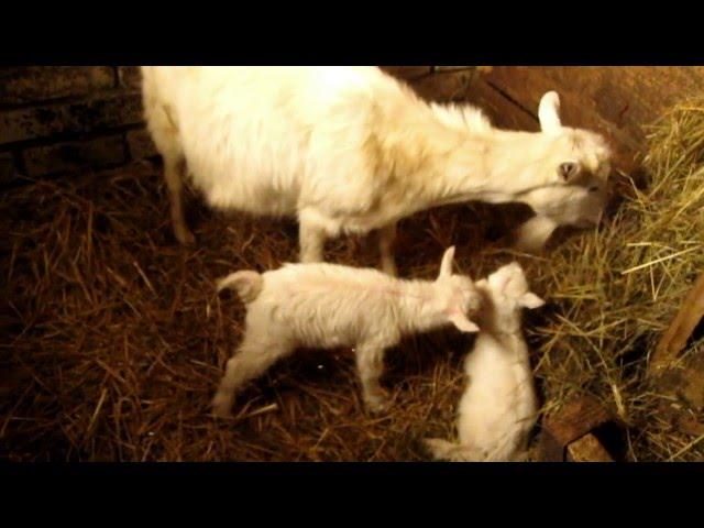 Коза родила тройню. Как рождаются козлята, окот козы. +18