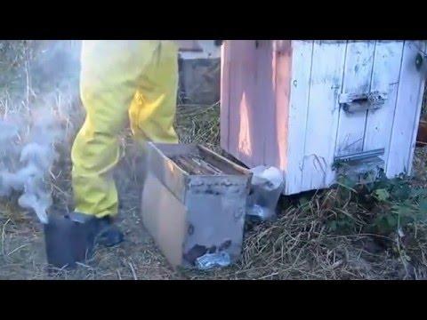 Ловля пчелиного бродячего роя в лесу