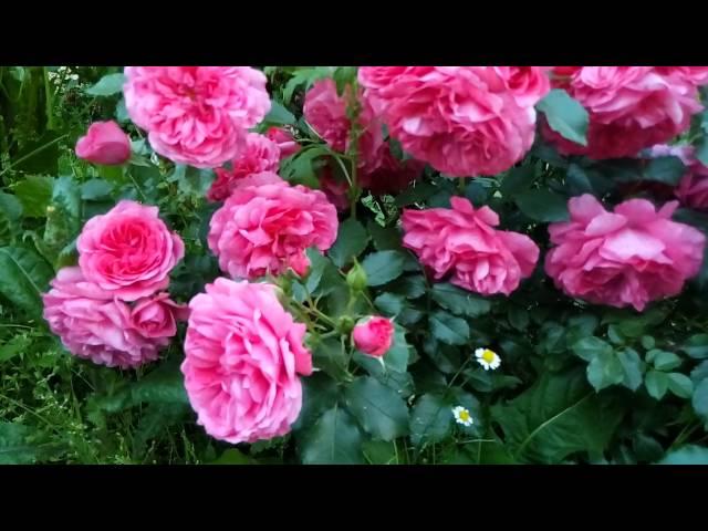 Мой сад 15 июня