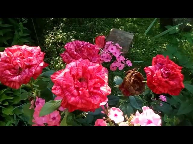 Мой сад в июле