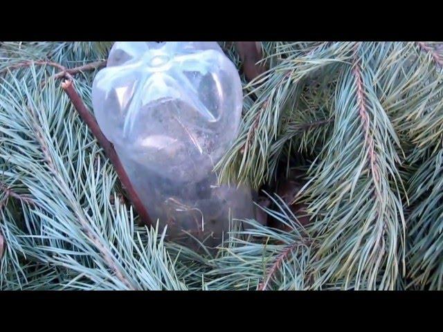 Прививка черешни на дикую  вишню. Северное садоводство,  система Железова.