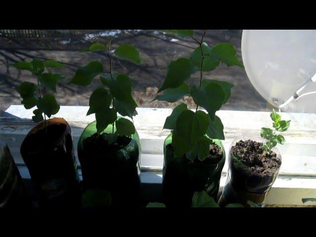 Прорастание косточек абрикоса на подоконнике в школе и их развитие.