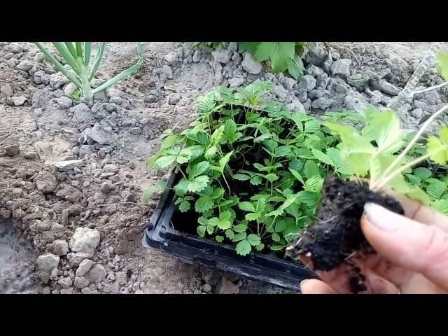 Рассаду земляники высаживаем в грунт.