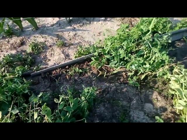 Секреты выращивания клюквы