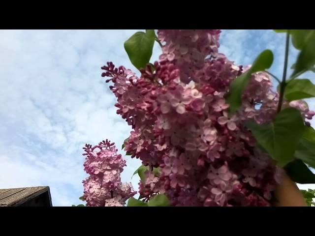 Сирень.Секреты обильного цветения.