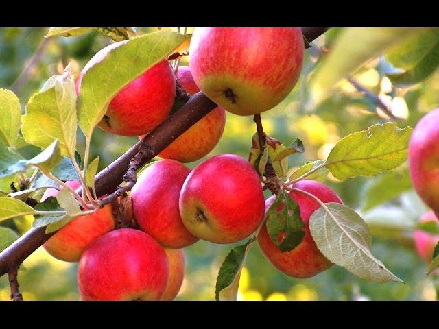 Сорта яблок. Как ухаживать за яблоней? Дача ТВ