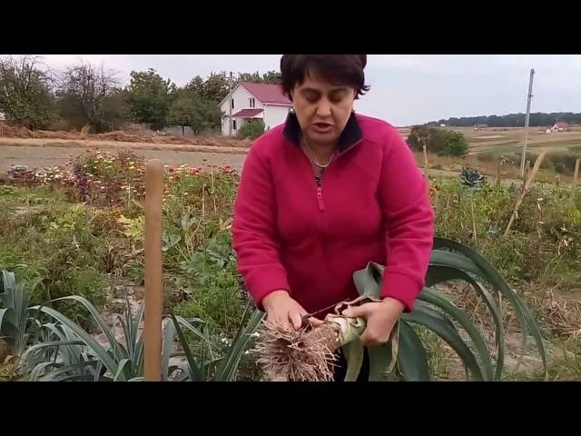 Супер урожай лука-порея.