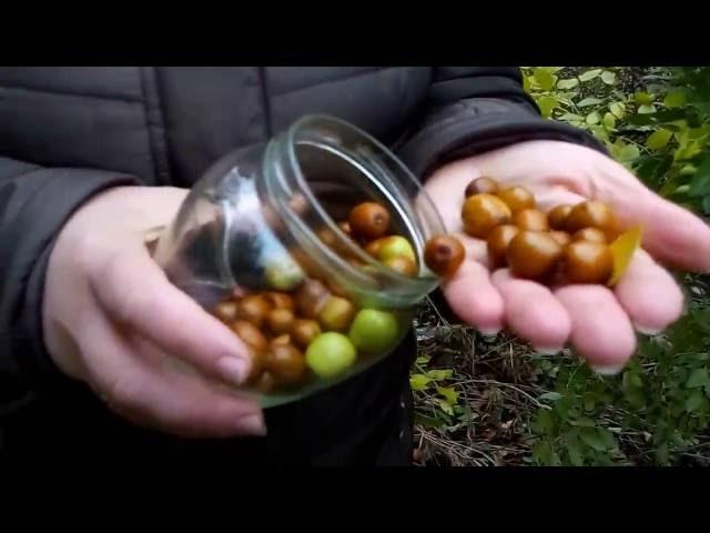 Унаби(зизифус,китайский финик)-дерева под названием»Дар Богов».