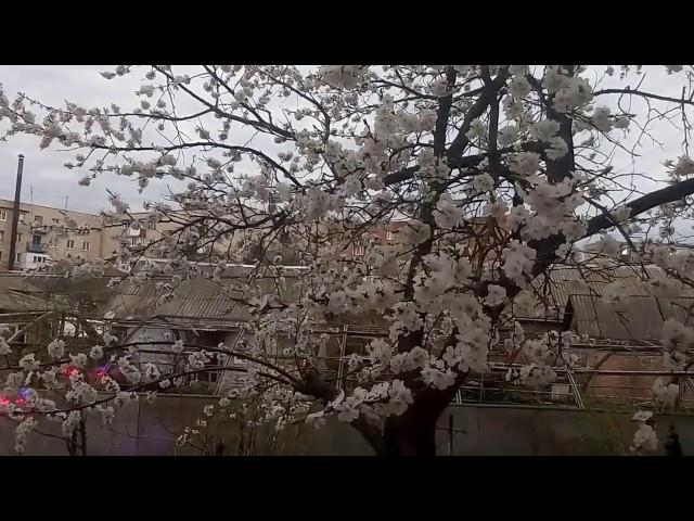 А у нас за окном цветет абрикос!