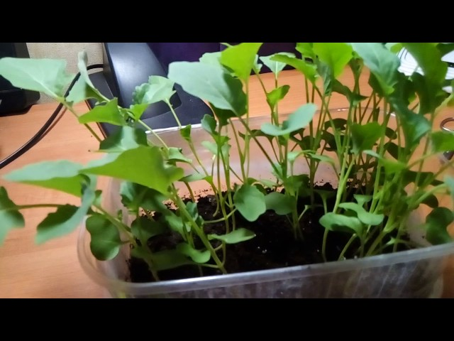 Что дeлать с рассадой капусты Брокколи до высадки в грунт.