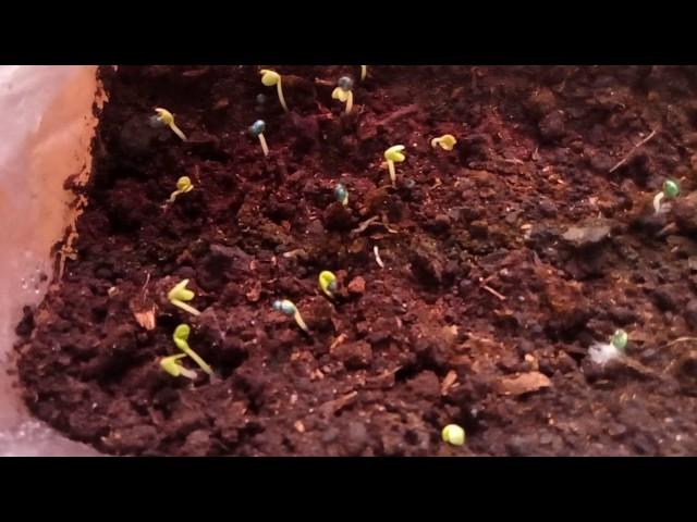 Где лучше выращивать рассаду капусты в домашних условиях.Первые всходы Брокколи.