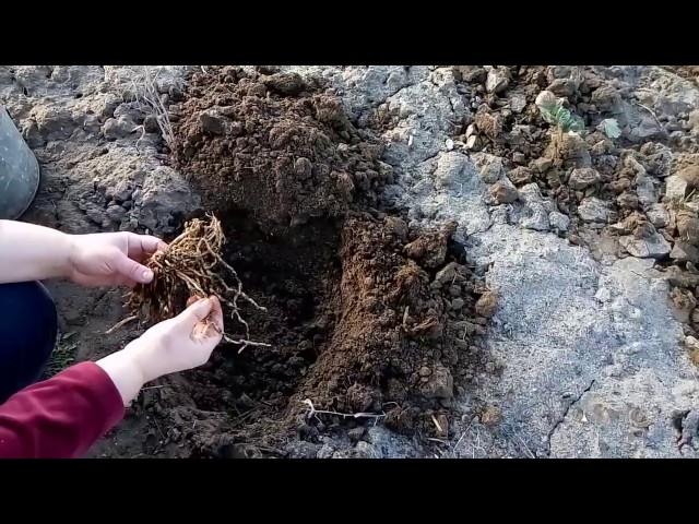 А Вы уже посадили спаржу?Мой метод посадки спаржи.