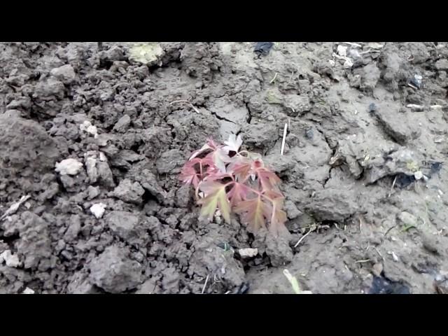 Древовидный пион.Способы размножения.