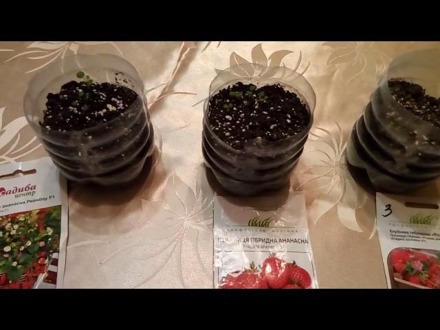 Первые всходы земляники.Какие семена  выбрать для посева?