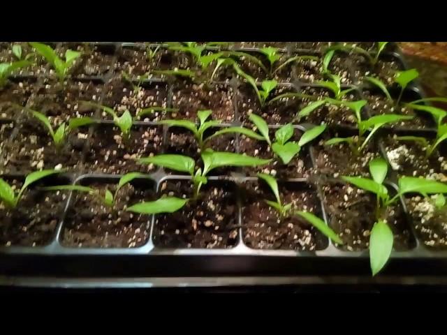 Стоит ли сеять просроченные семена цветов и овощей?