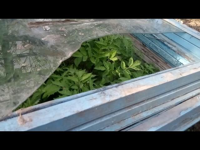 Супер рассада томатов—результат пикировки в холодный парник.