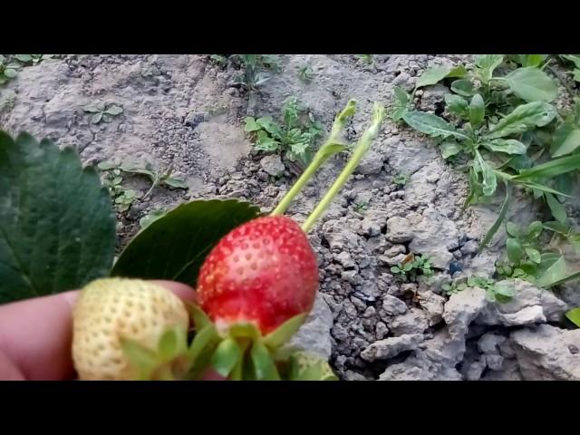 Клубника «Азия»—первый год плодоношения.