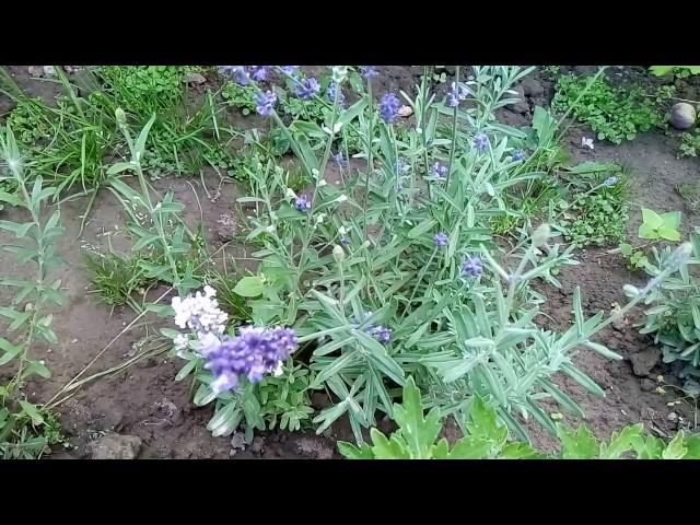 ЛАВАНДА ИЗ СЕМЯН.Легко ли вырастить лаванду из семян?