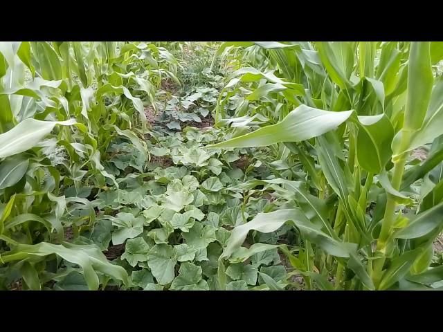 Посадка совмещенная огурцов и кукурузы—хорошее решение.