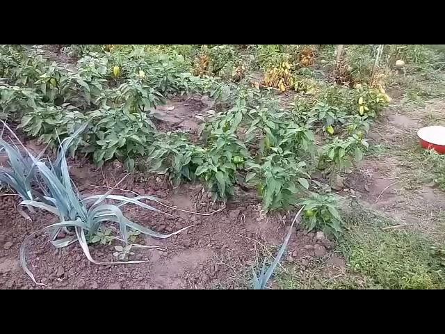 Обзор томатов 2017(дрова,хлебосольные,иришка,оранжевая земляничка,райское наслаждение,сердце Ашхаба)