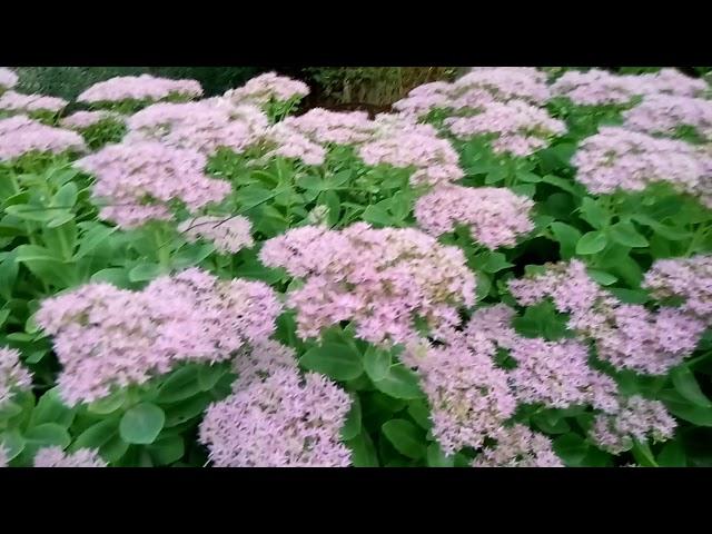 Очиток(седум,молодило,заячья капуста)—чудесное украшенье сада осенью!!!