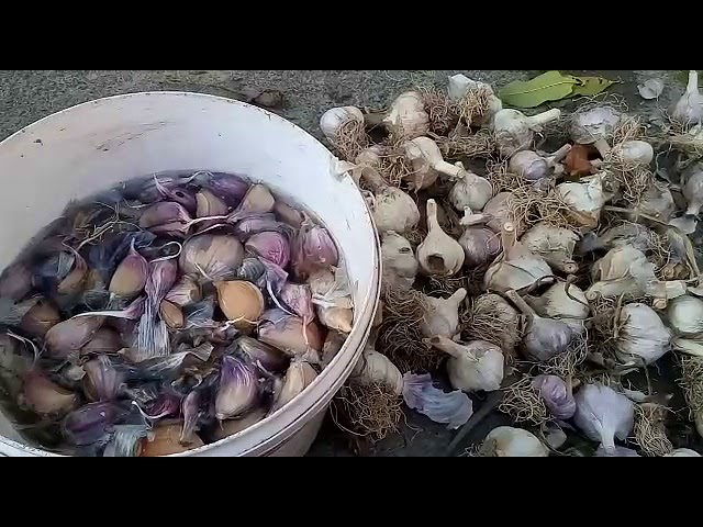 Подготовка и посадка озимого чеснока.