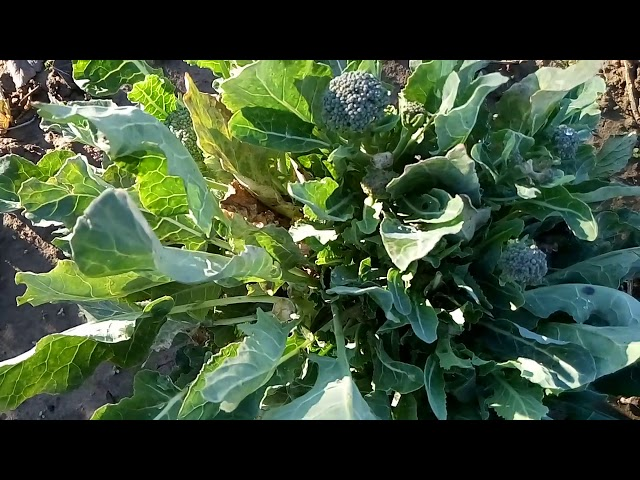 Стоит ли выращивать брокколи?Брокколи—ценный овощ до морозов.