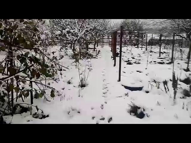 Первый снег.Добываю петрушку и сельдерей из под снега.