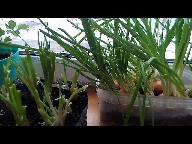 Лук на зелень—»Тройной урожай»!!!