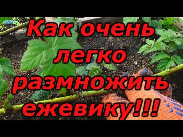 ЕЖЕВИКА — СУПЕР СПОСОБ РАЗМНОЖЕНИЯ !!! Зимнее размножение ежевики.